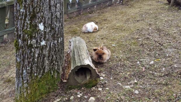 Zwerghasen, freuen sich auf den Frühling