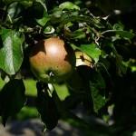 Die Apfel von den Streuobstanlagen für den Apfelsaft