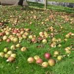 Äpfel klauben