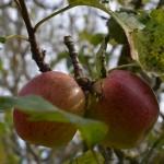 Der Duft von reifen Äpfeln