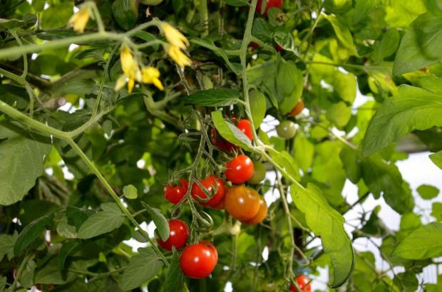 Gemüse im Garten