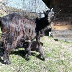 Das kleinste Zwergziegenbaby von Frida bei Familie Perhofer am Bauernhof