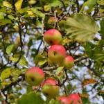 Die Äpfel frisch vom Baum.... wenn sie reif sind!