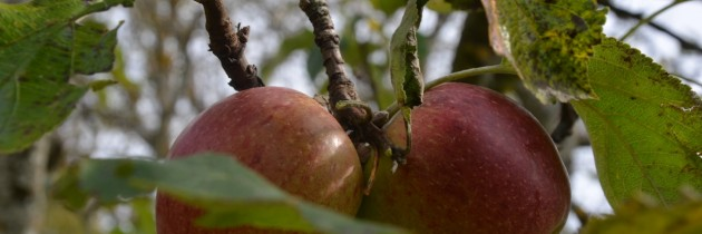 Der Duft der reifen Äpfel